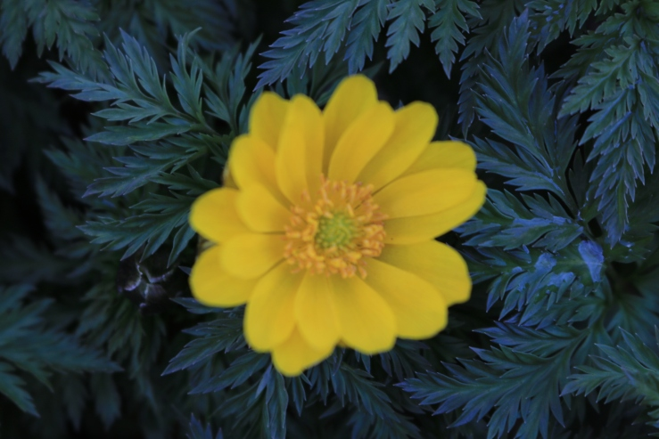 yellow flower with navy leaves